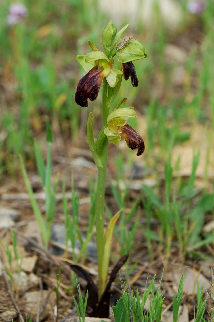 Ophrys fusca subsp. fusca 7