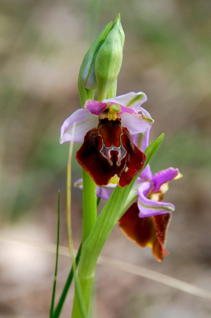 Ophrys holoserica subsp. holoserica 4