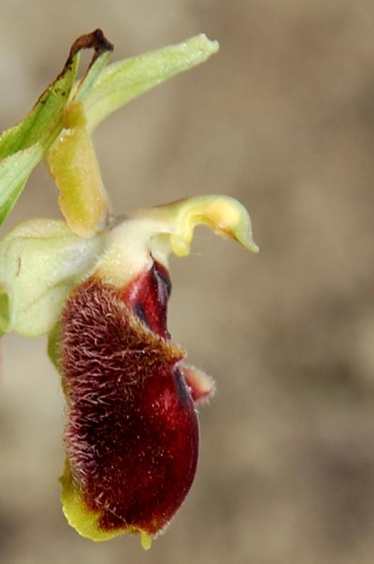 Ophrys promontorii 3