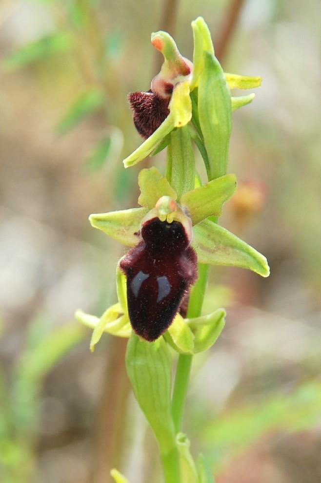Ophrys promontorii 5