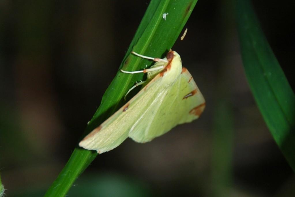 Opisthograptis luteolata - Geometridae