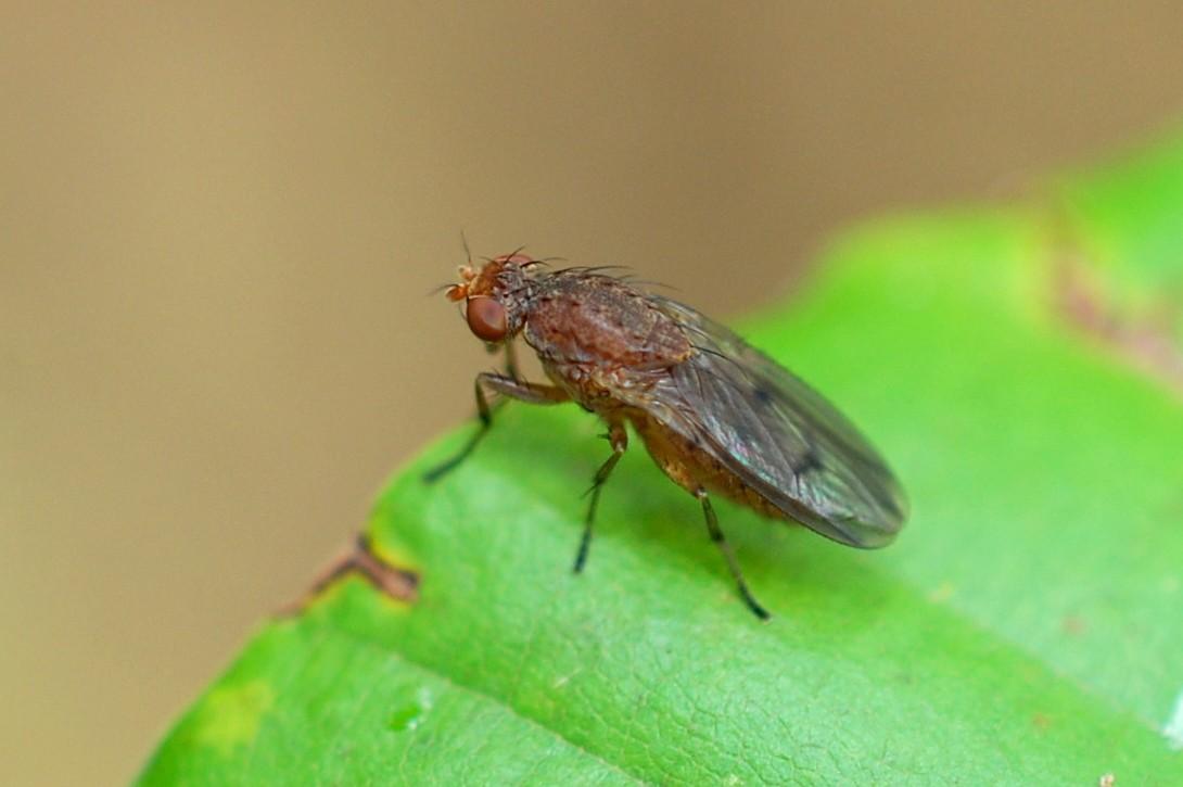 Opomyza sp. - Opomyzidae