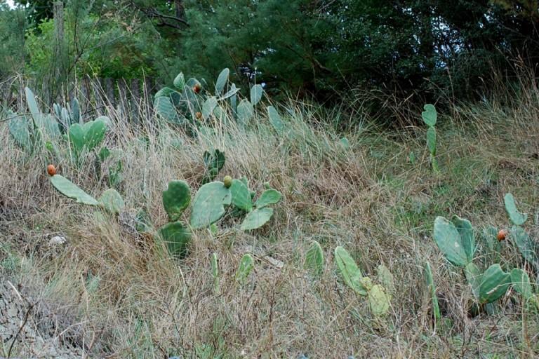 Opuntia ficus-indica 13