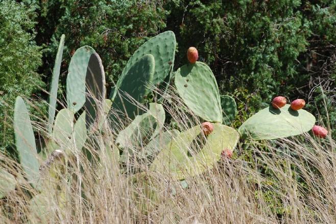 Opuntia ficus indica 11