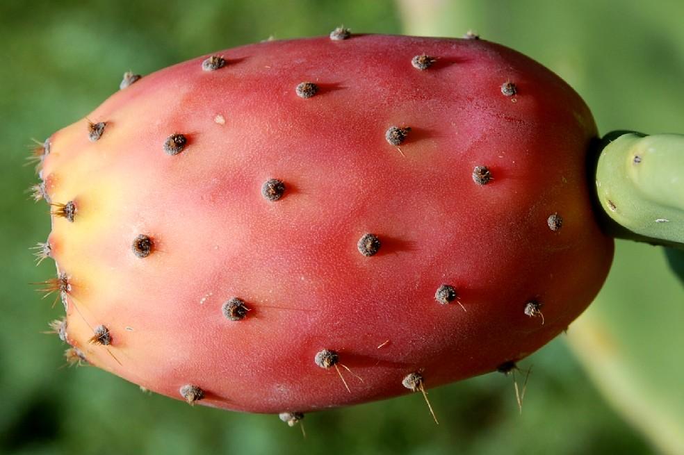Opuntia ficus indica 2