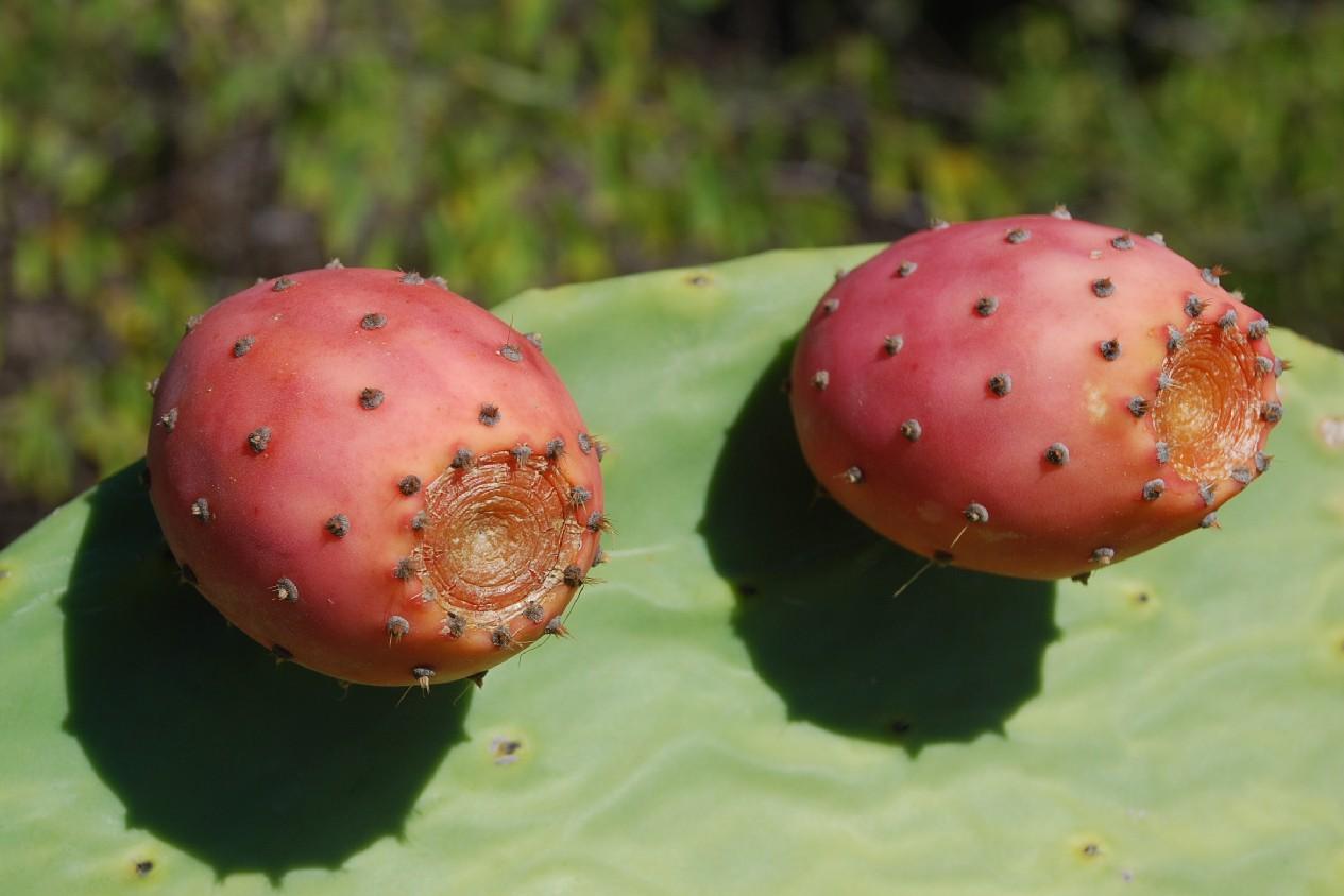 Opuntia ficus indica 4