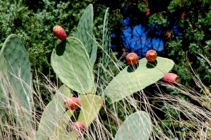 Opuntia ficus indica 7