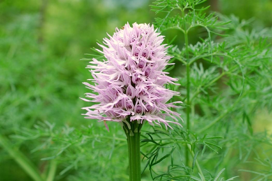 Orchis italica 14