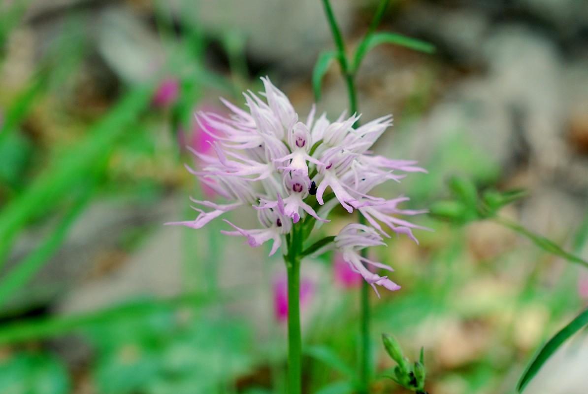 Orchis italica 16