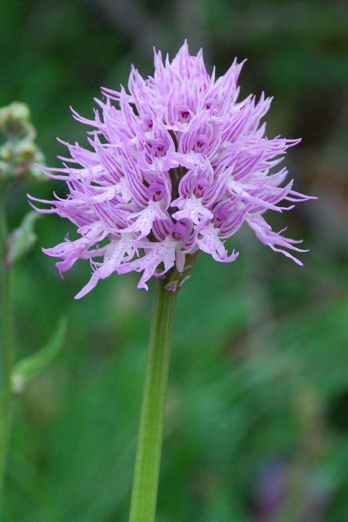 Orchis italica 4