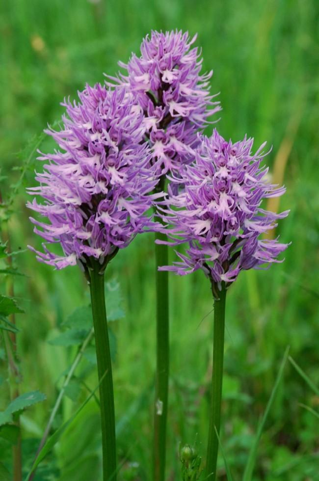 Orchis italica 5