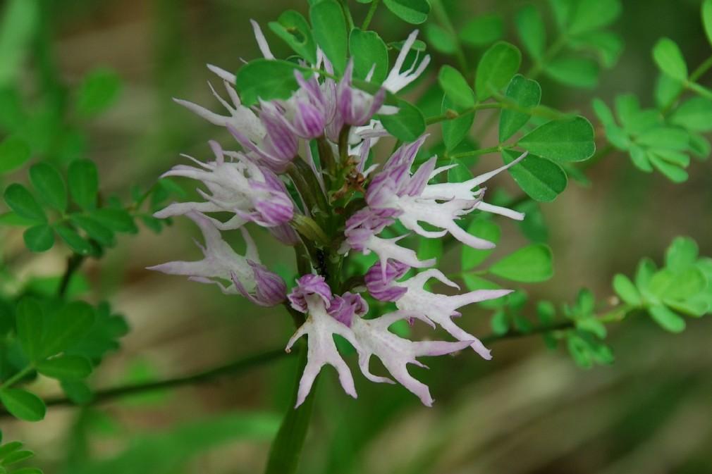 Orchis italica 9