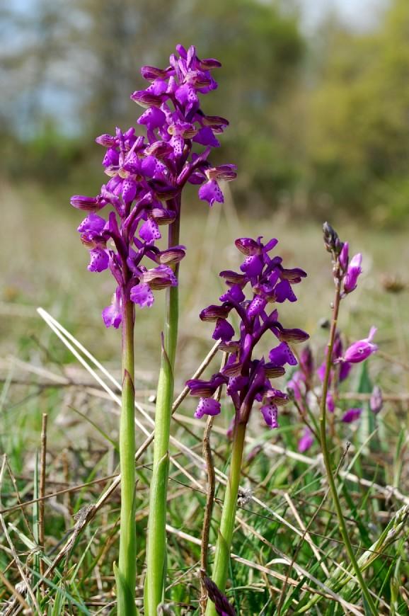 Orchis morio 9