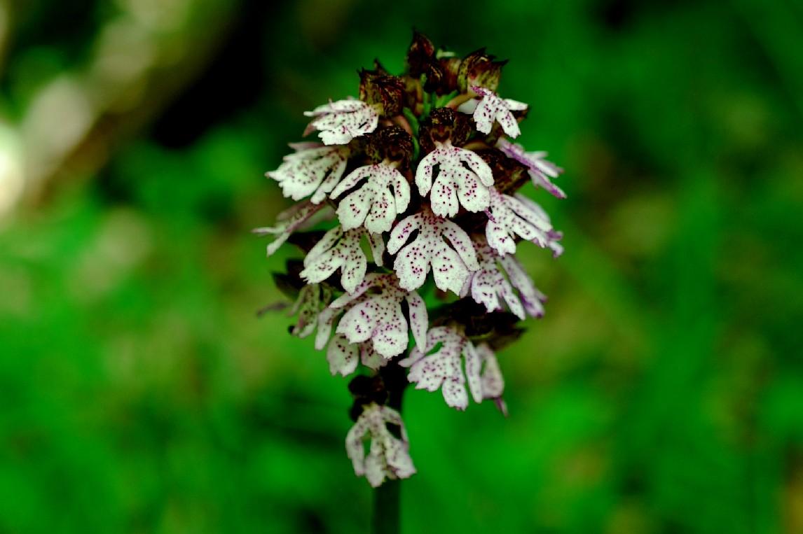 Orchis purpurea 16
