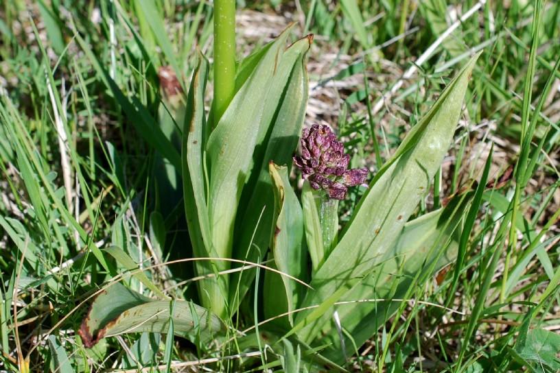Orchis purpurea 19