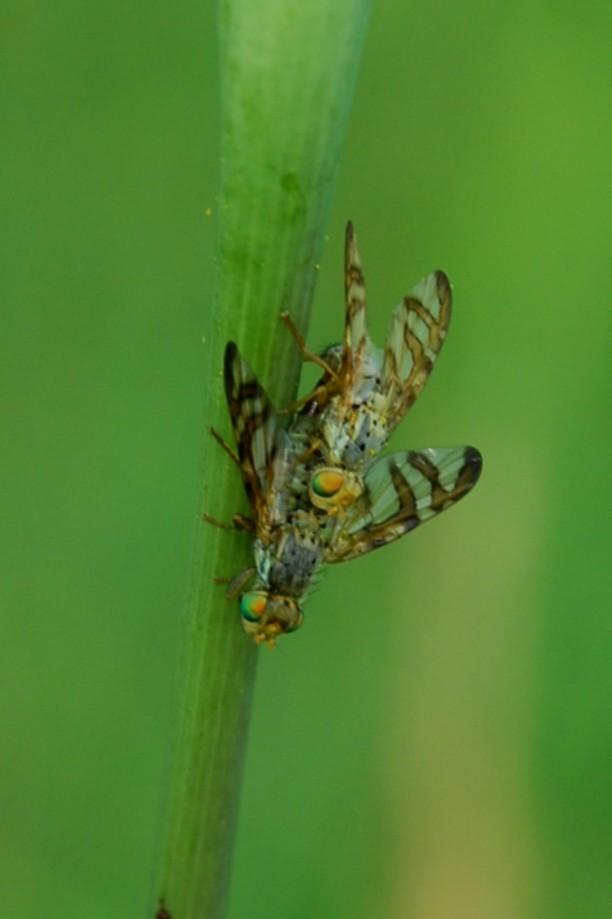 Orellia sp. - Tephritidae 2