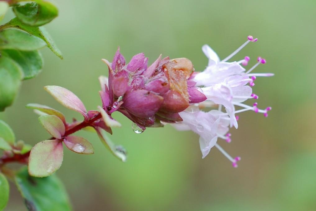 Origanum vulgare subsp. prismaticum