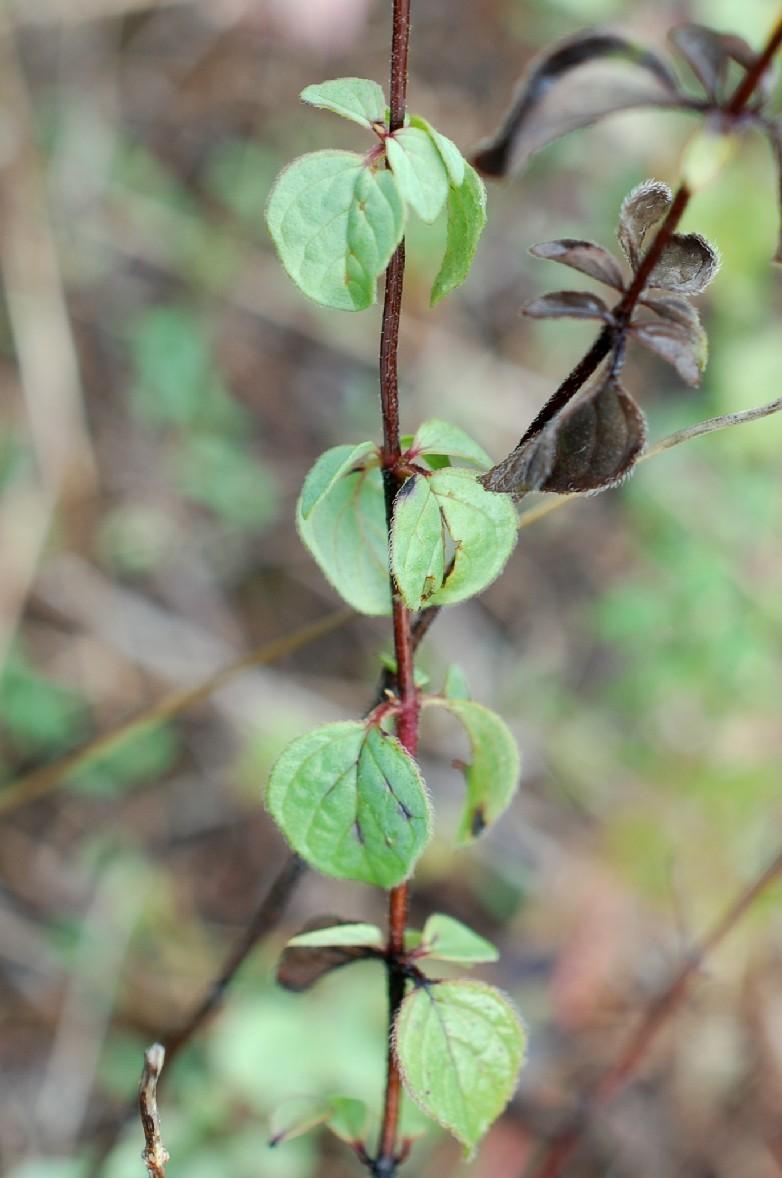 Origanum vulgare subsp. prismaticum 10