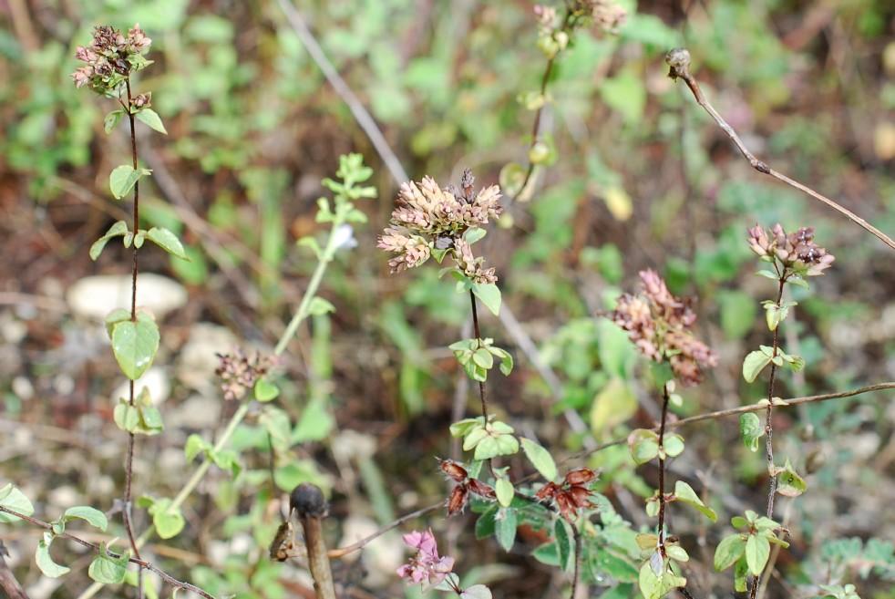 Origanum vulgare subsp. prismaticum 11
