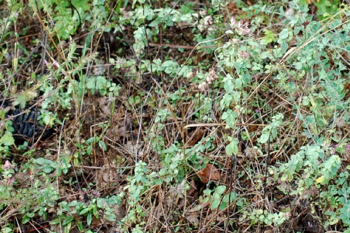 Origanum vulgare subsp. prismaticum 12