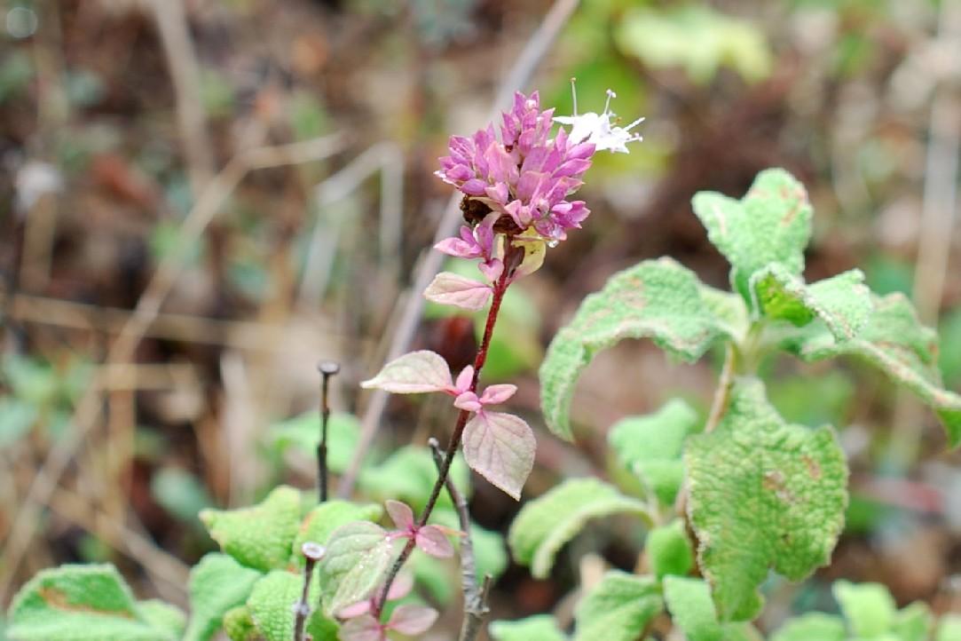 Origanum vulgare subsp. prismaticum 3