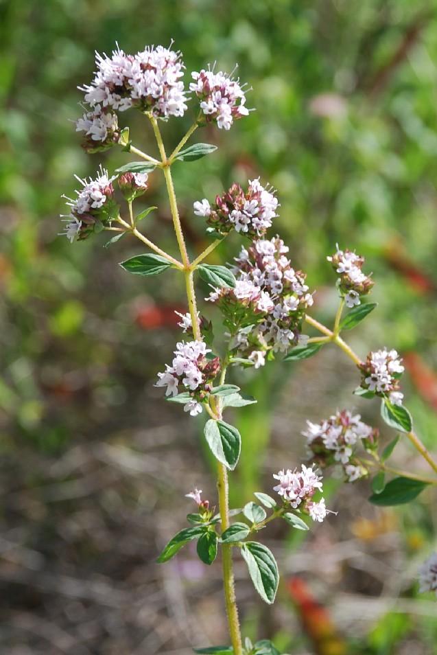 Origanum vulgare subsp. vulgare 10