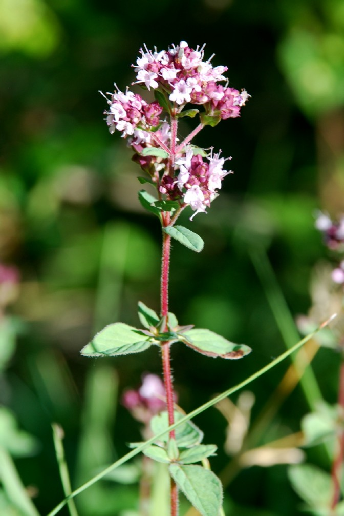 Origanum vulgare subsp. vulgare 11