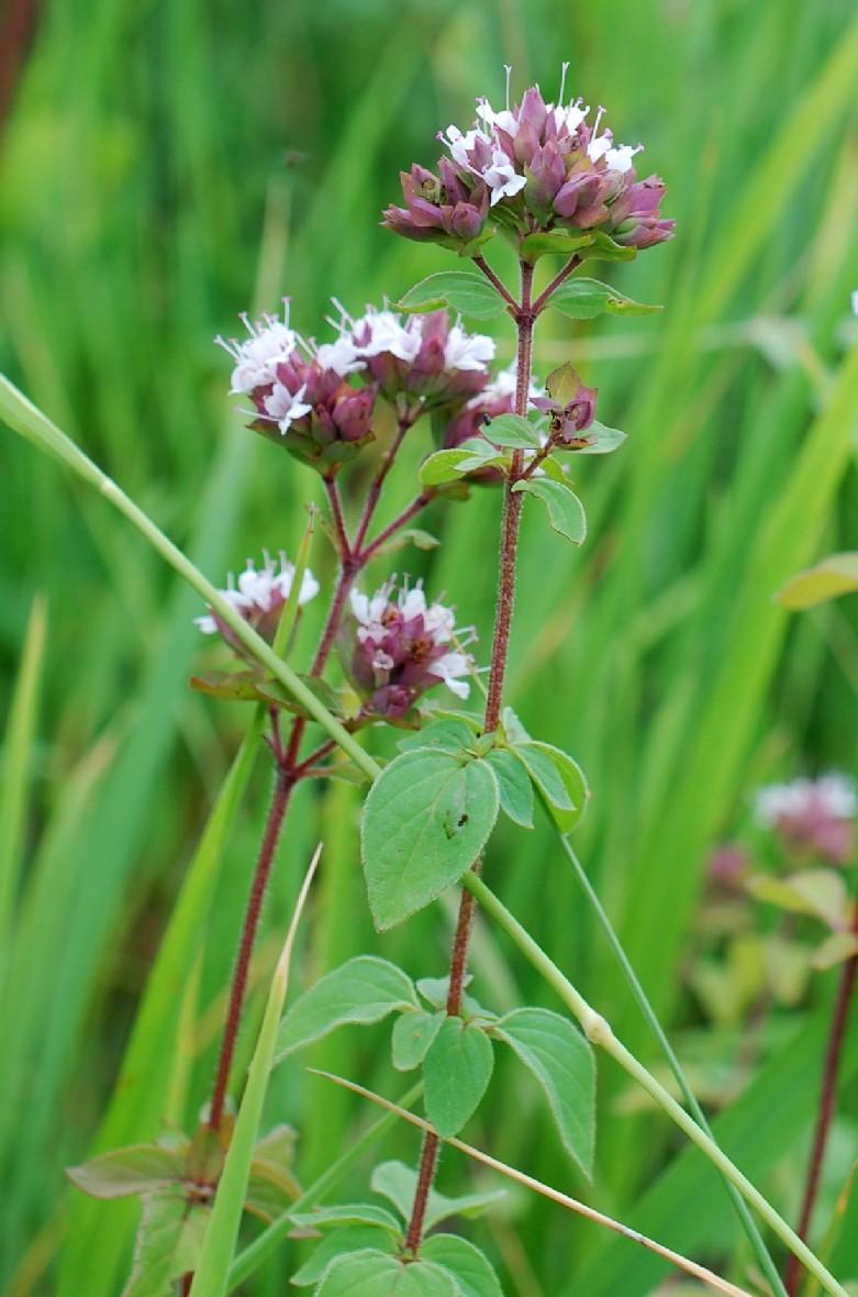 Origanum vulgare subsp. vulgare 13