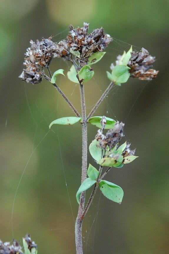 Origanum vulgare subsp. vulgare 5