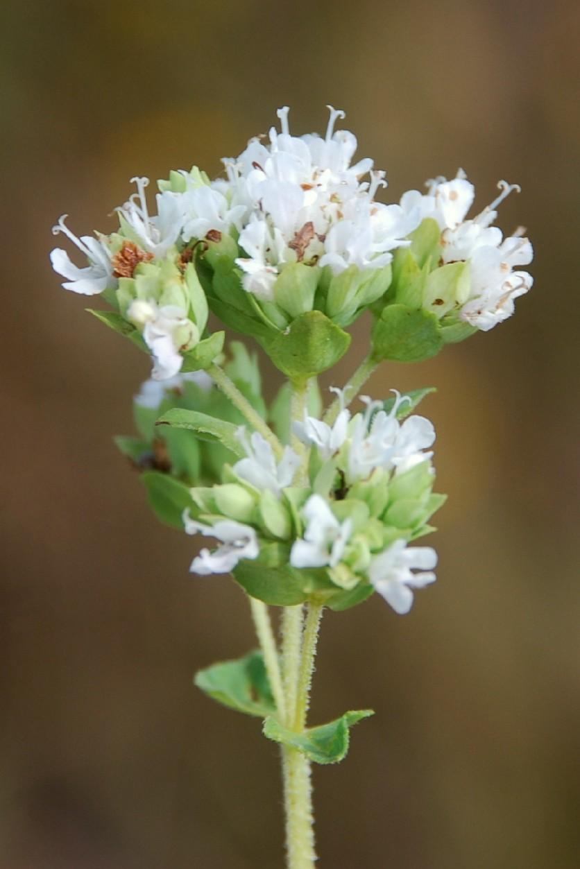 Origanum vulgare subsp. vulgare 8