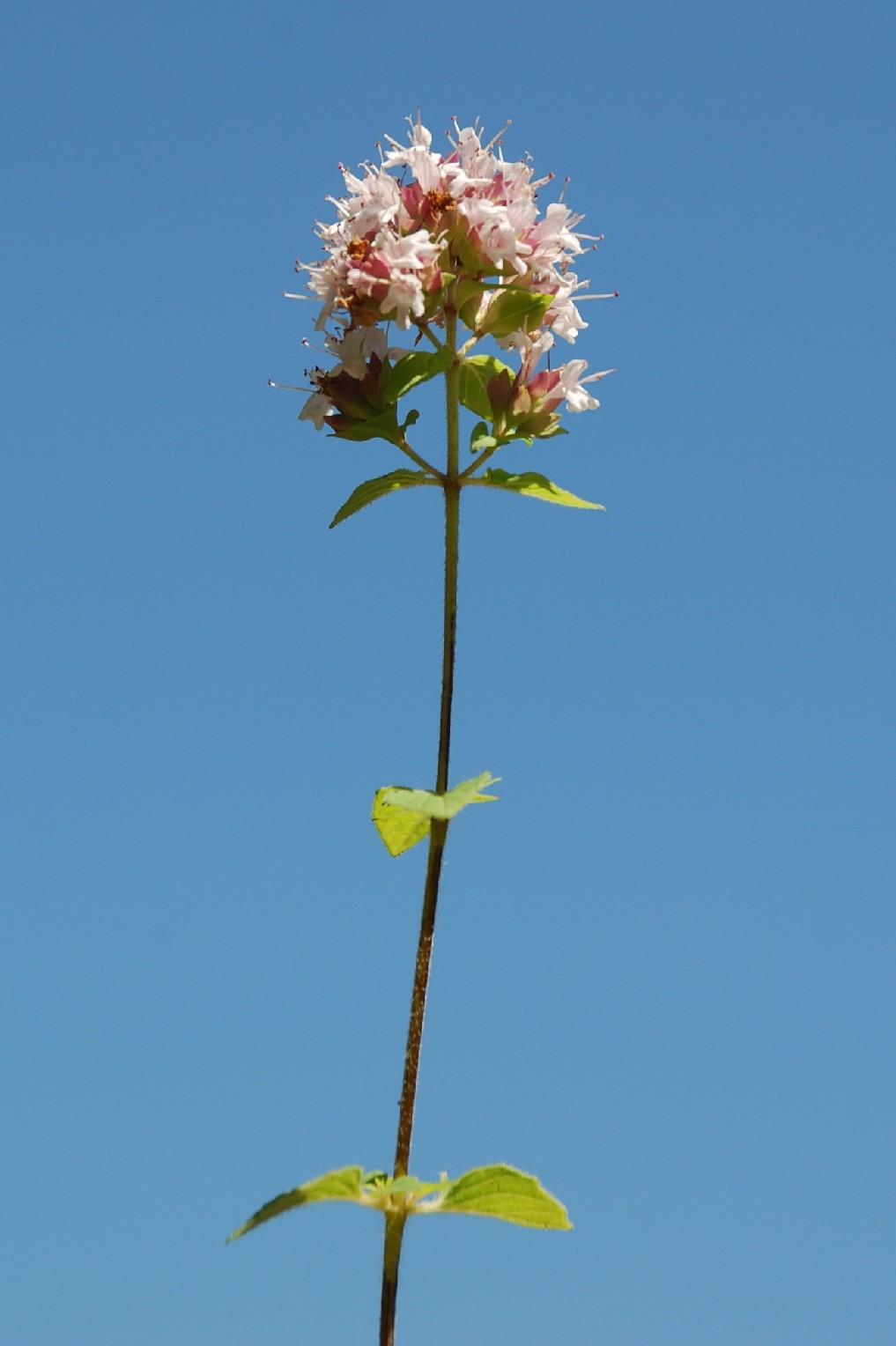 Origanum vulgare subsp. vulgare 9