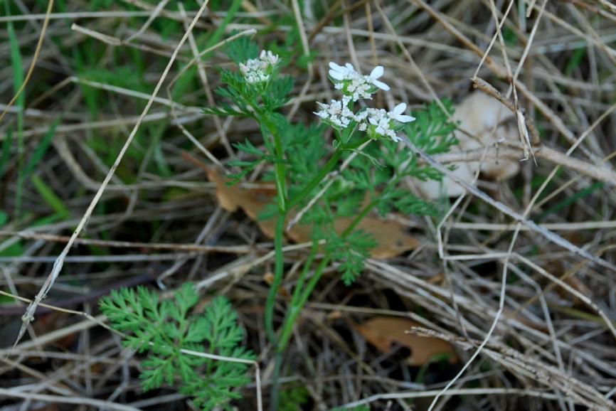 Orlaya daucoides 10