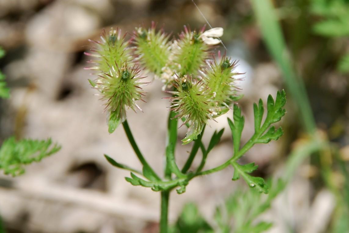 Orlaya daucoides 14