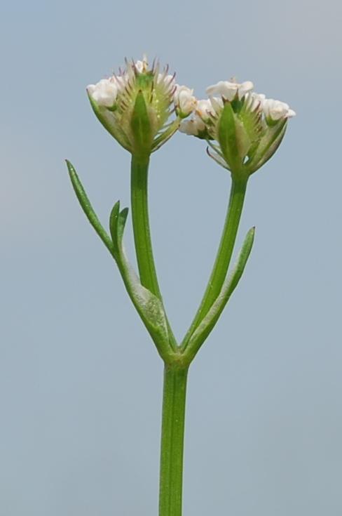 Orlaya daucoides 5