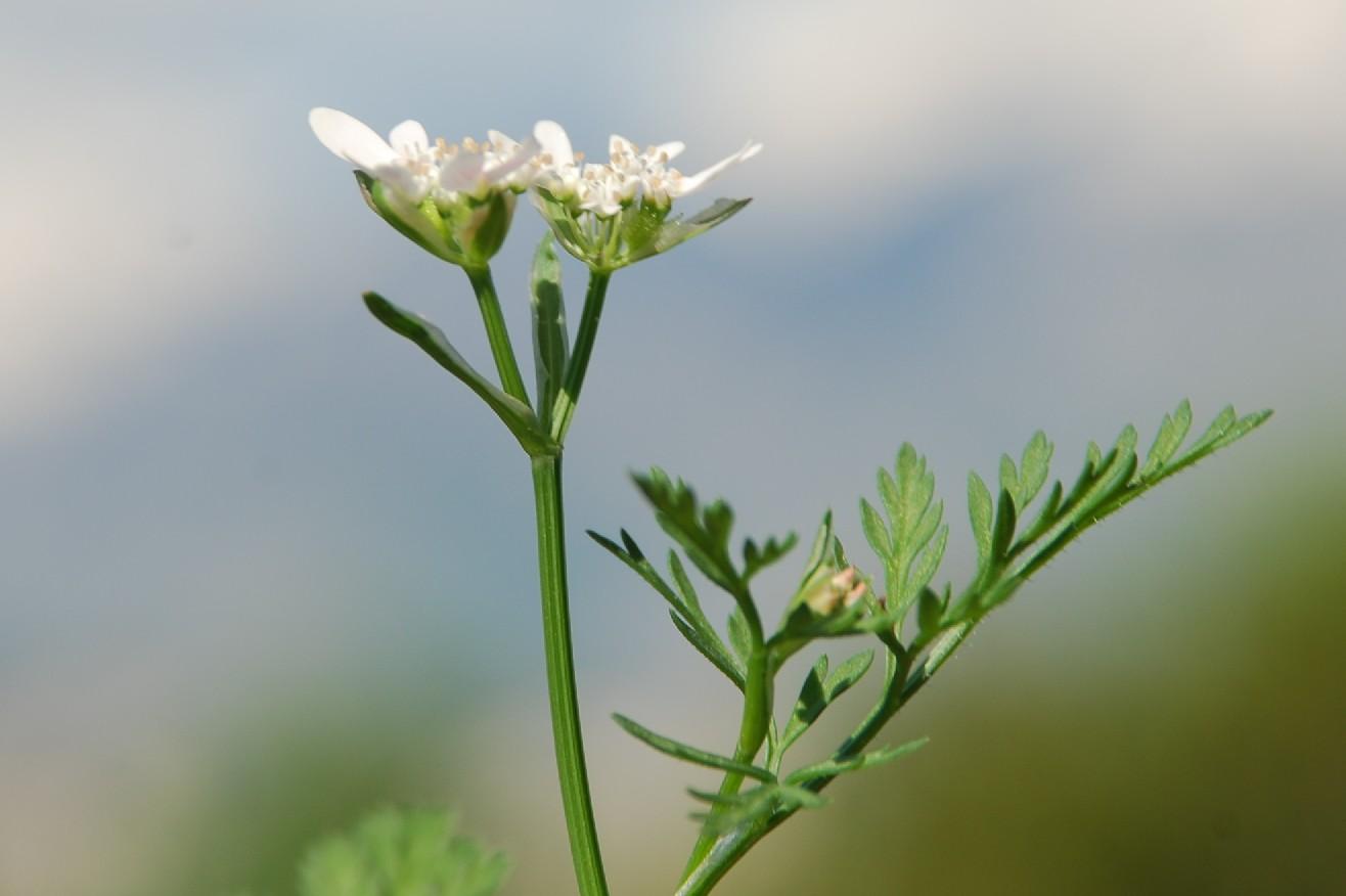 Orlaya daucoides 9