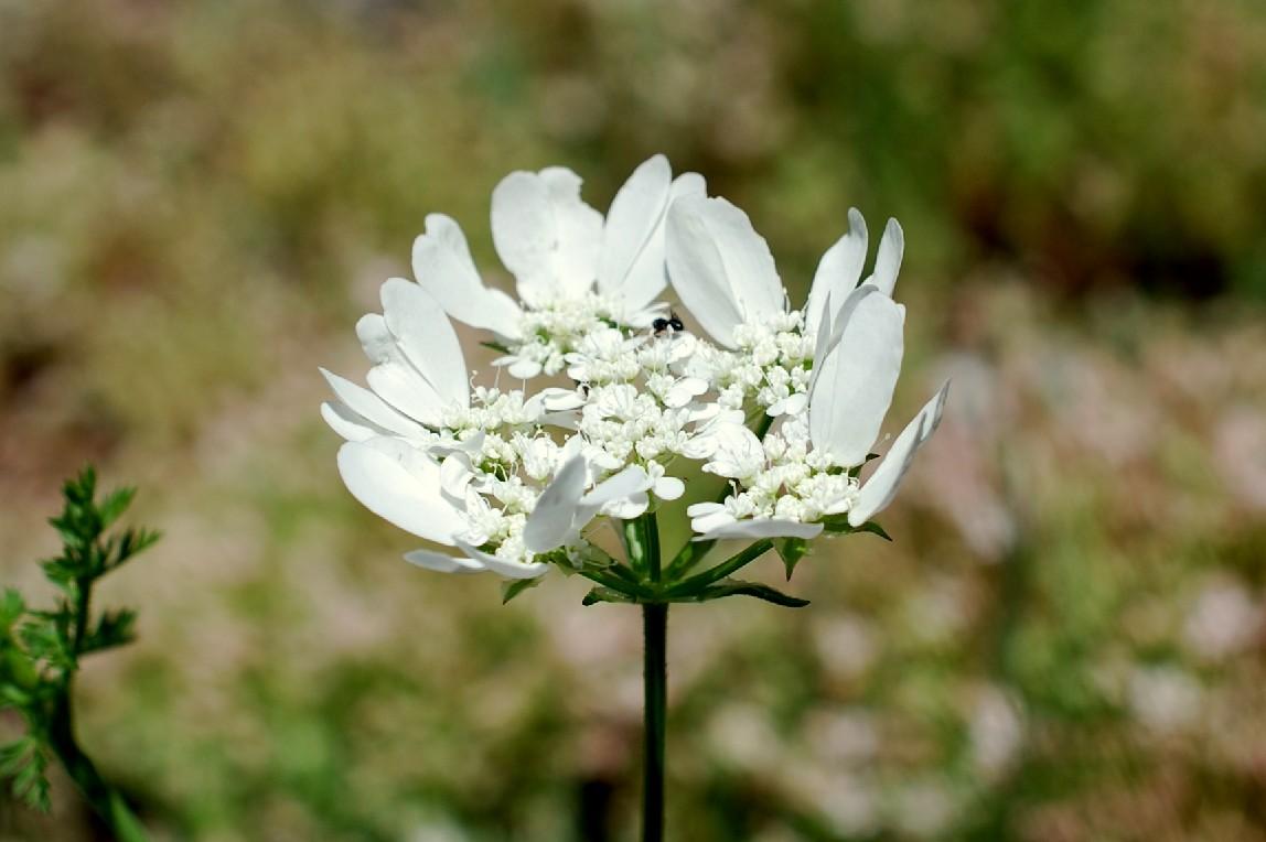 Orlaya grandiflora 16