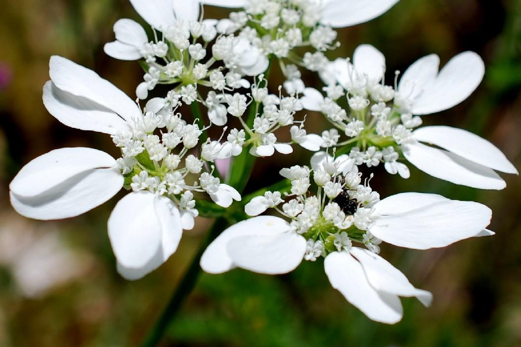 Orlaya grandiflora 20