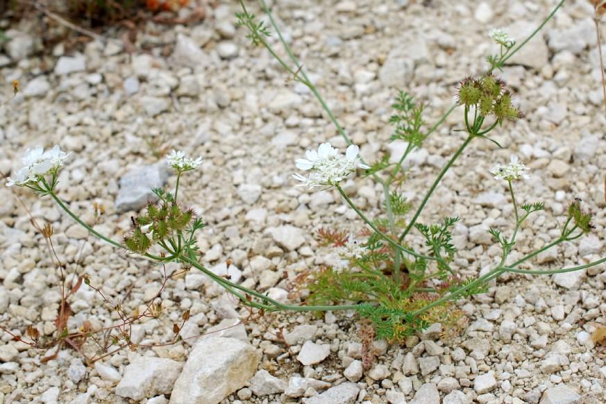 Orlaya grandiflora 21
