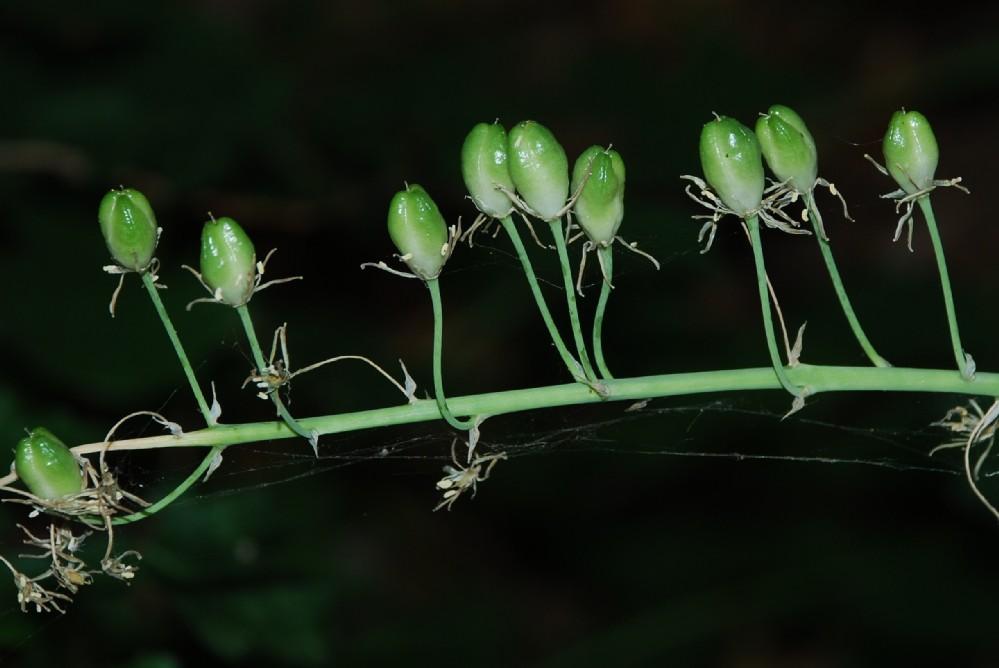 Ornithogalum pyrenaicum 2