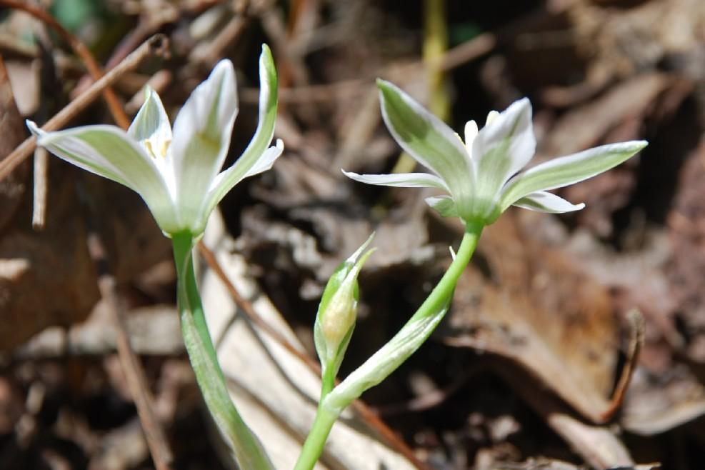 Ornithogalum umbellatum subsp. umbellatum 13