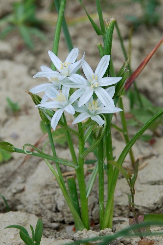 Ornithogalum umbellatum subsp. umbellatum 2