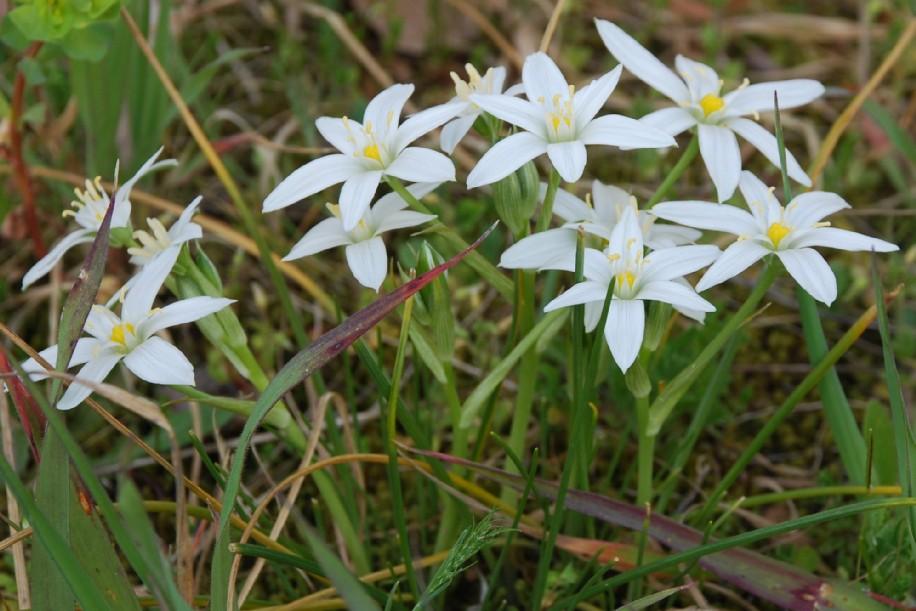 Ornithogalum umbellatum subsp. umbellatum 6