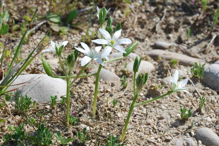 Ornithogalum umbellatum subsp. umbellatum 7