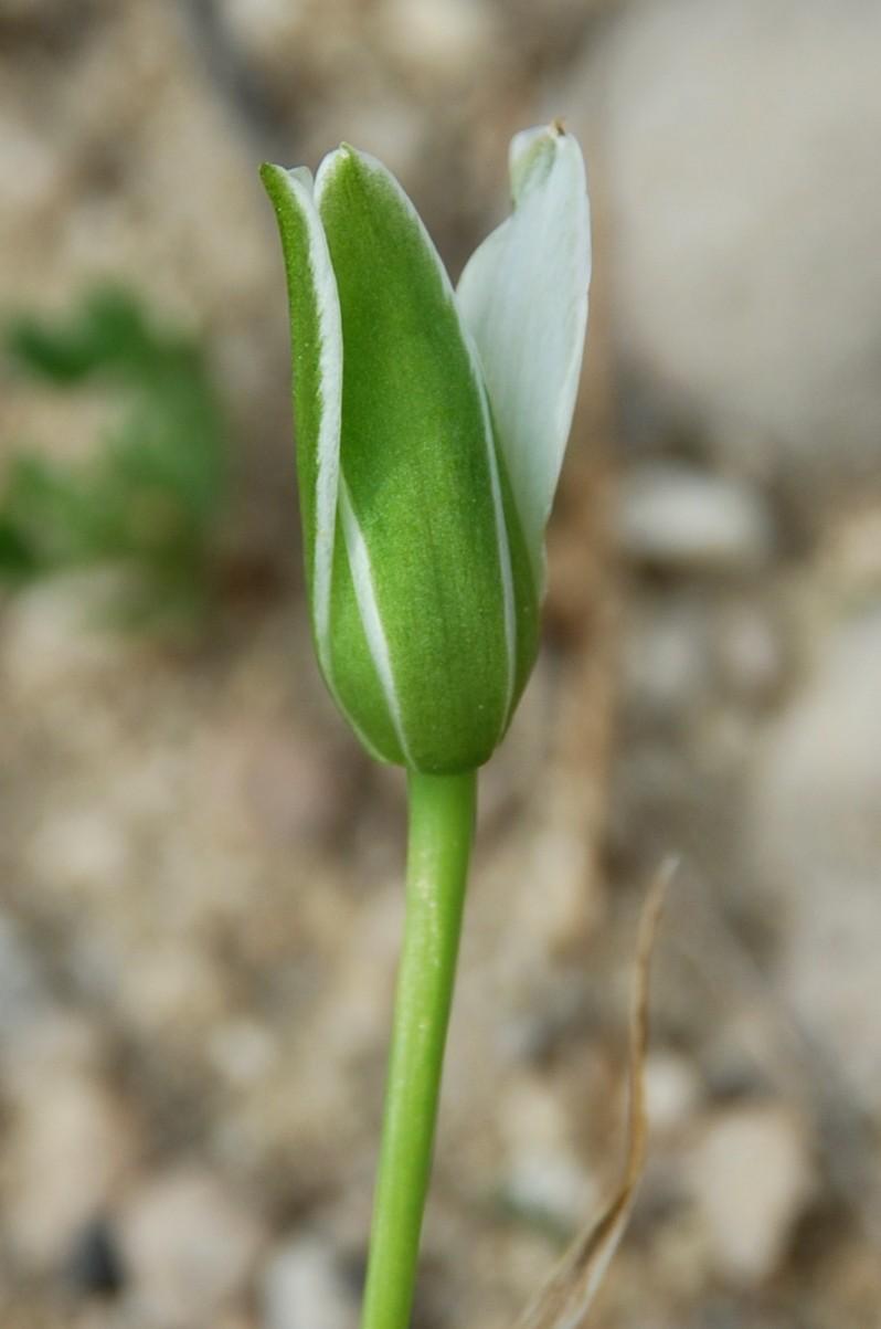 Ornithogalum umbellatum subsp. umbellatum 9