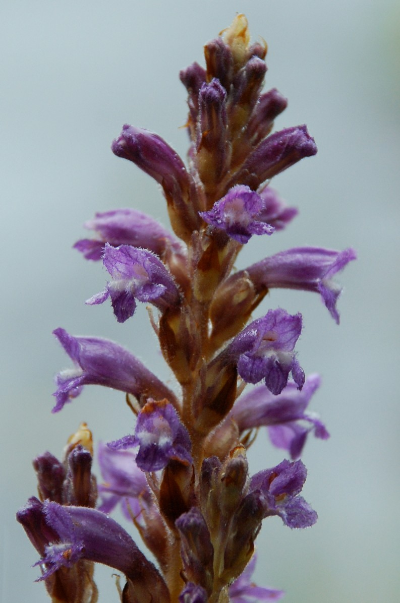 Orobanche ramosa subsp. mutelii 2