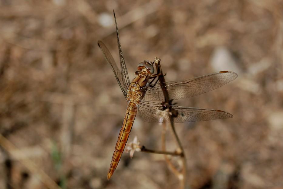 Orthetrum brunneum - Libellulidae  (femmina)