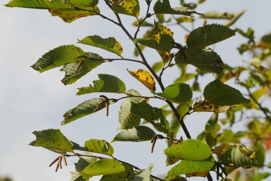 Ostrya carpinifolia 12