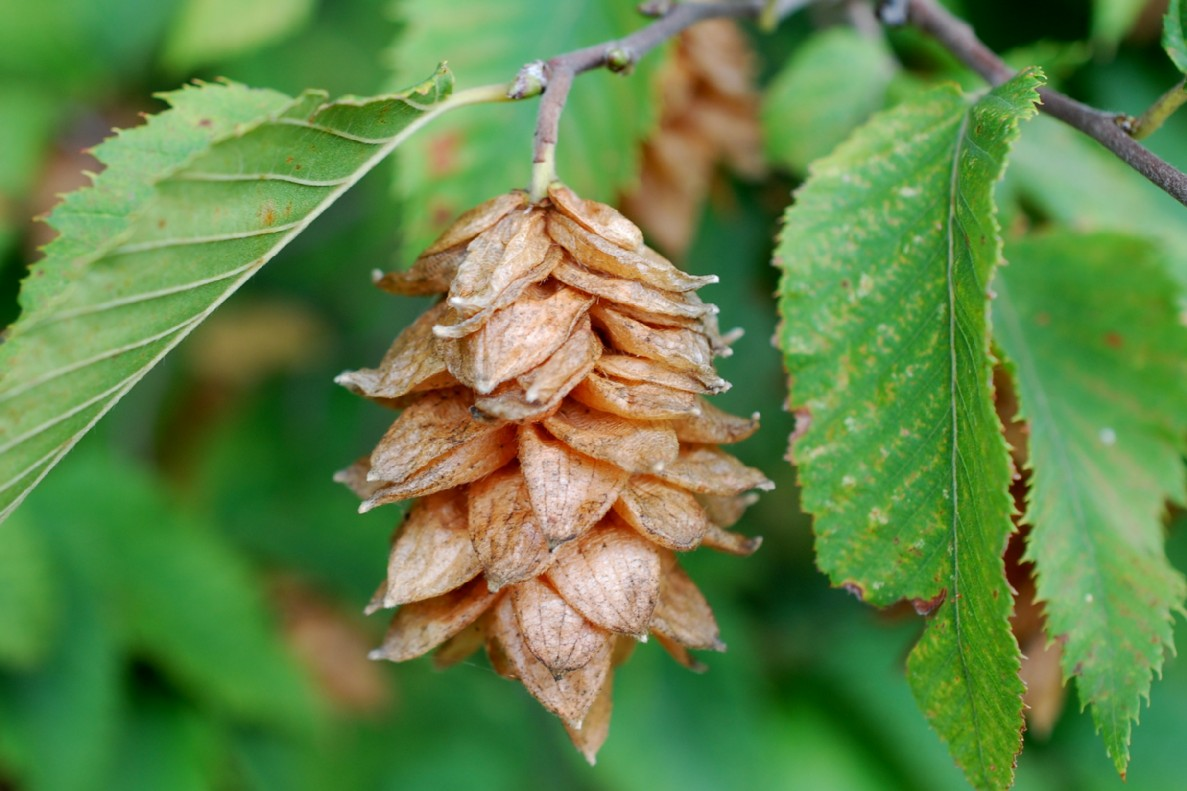 Ostrya carpinifolia 18