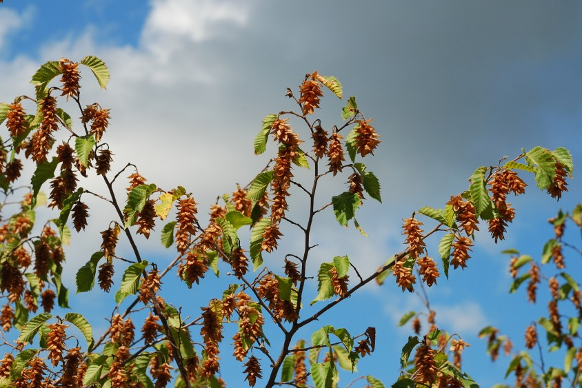 Ostrya carpinifolia 2