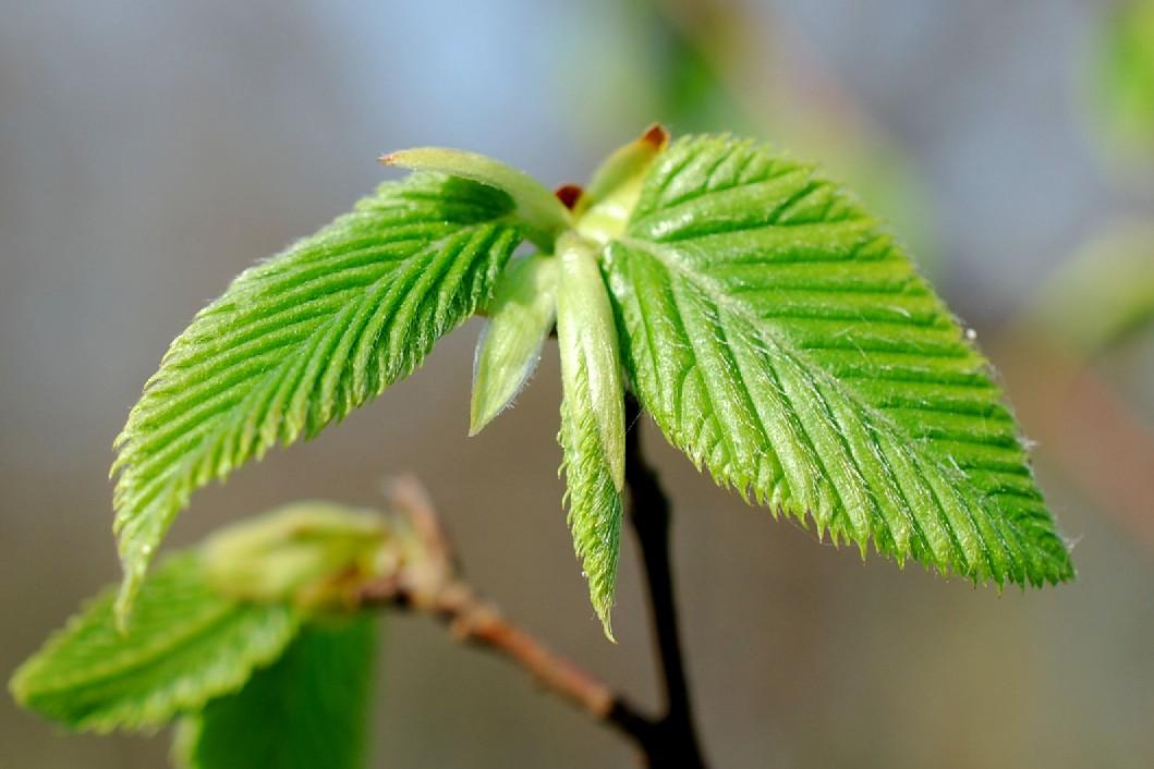 Ostrya carpinifolia 20